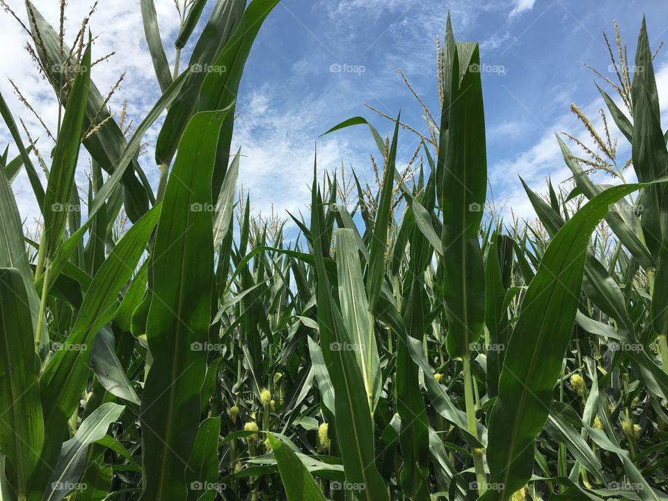 Field full of corn plants