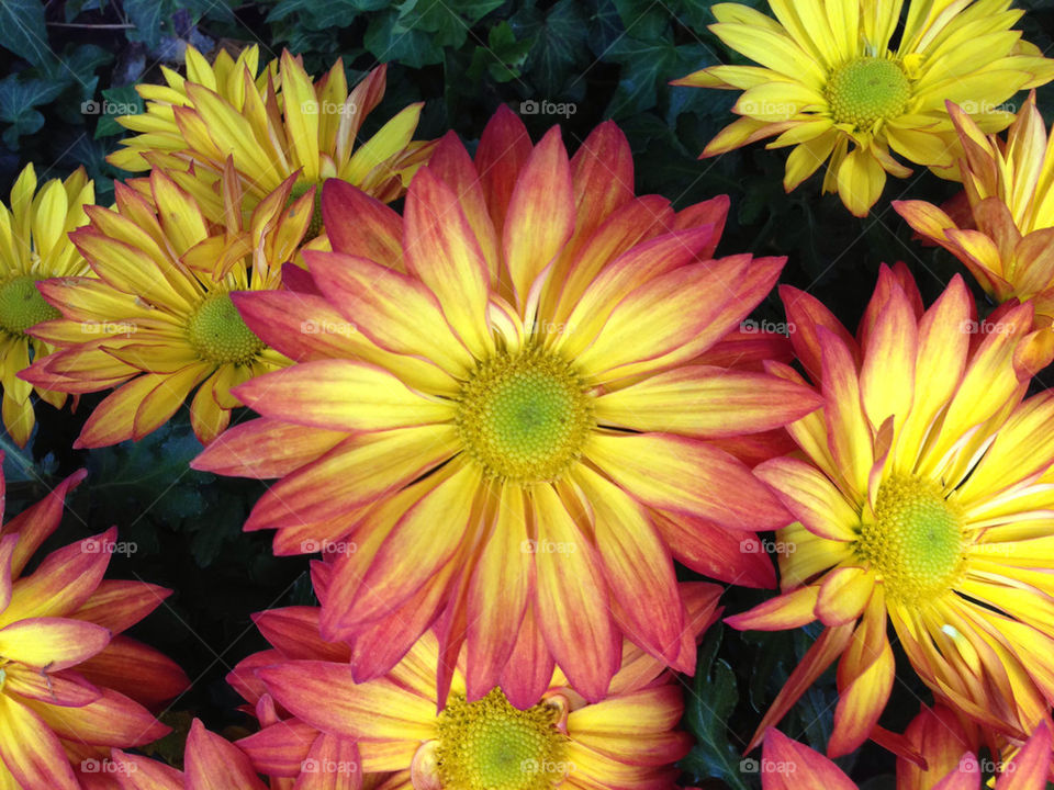 yellow flower red purple by snook911