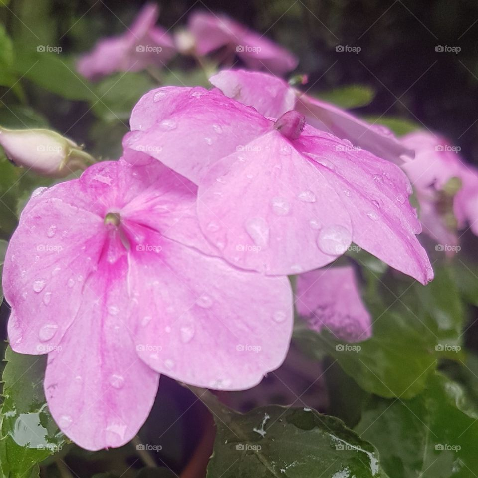 Close look at small pink flowers after a light rain, water droplets still clinging to the petals.