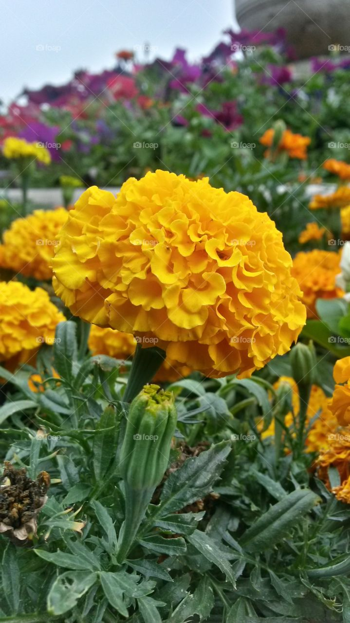 Marigold flower blooming outdoors