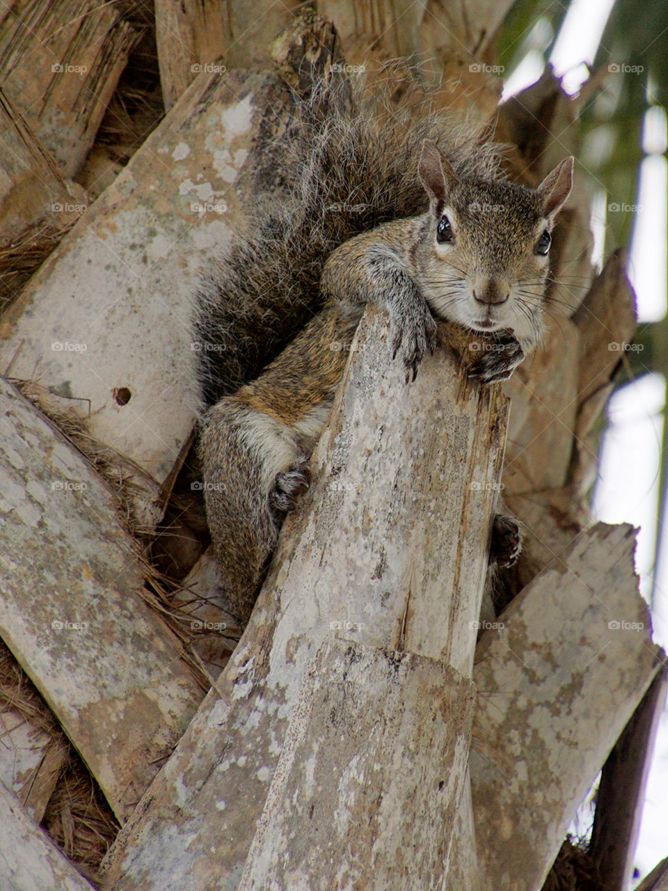 Squirrel on a Ledge. Grey Squirrel looking over ledge of Cabbage Palm tree