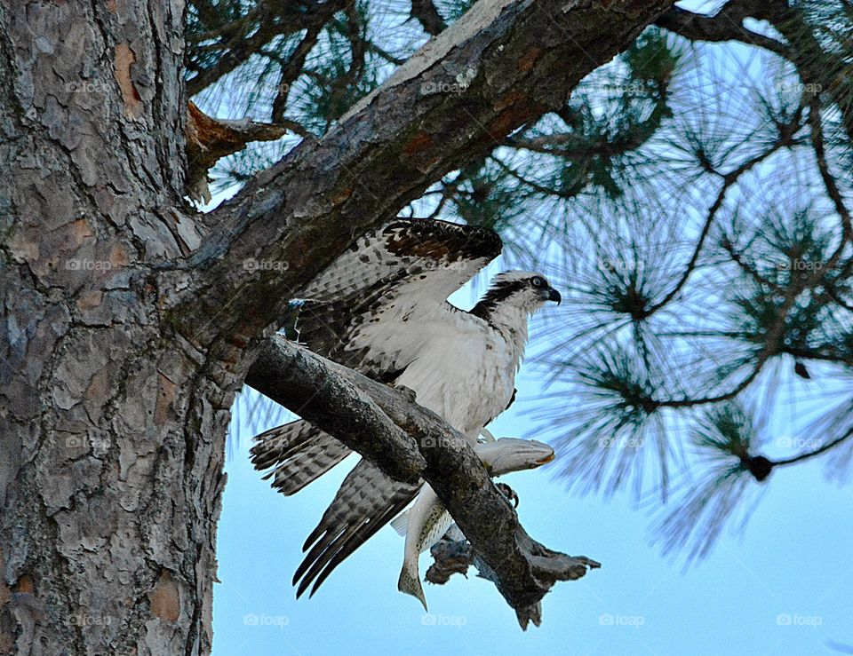 Osprey with catch of the day