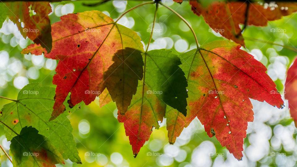 3 leaf rainbow