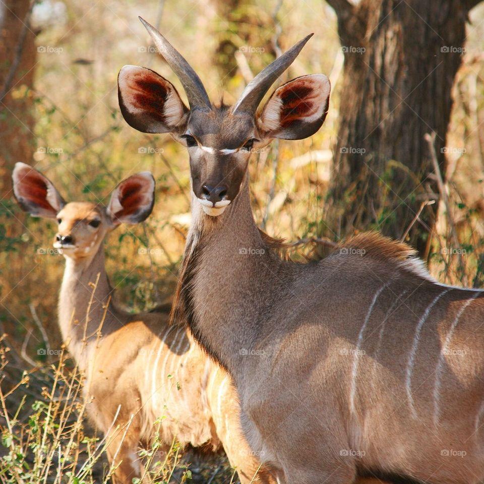 Portrait of a bongo antelope