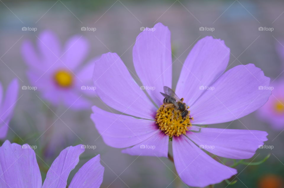 Bee pollinating cosmos flower