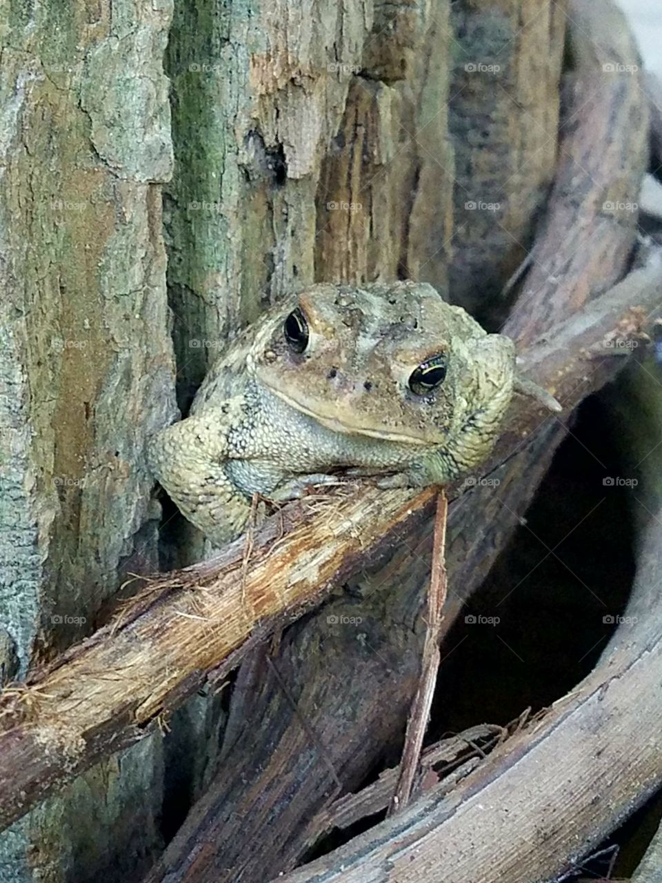 toad perched and camouflaged on tree trunk