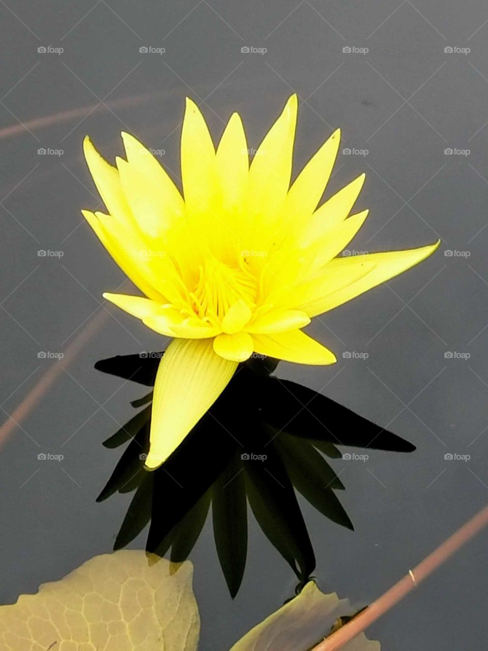 yellow water lily close-up with reflection