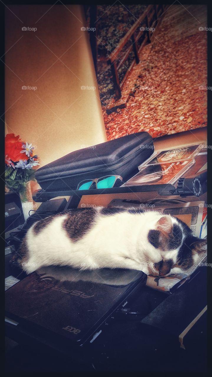 Pippi cat sleeping on a desk.