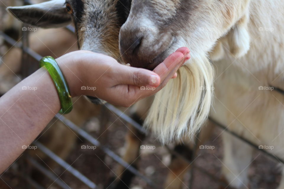Woman holding feed for goats in petting zoo