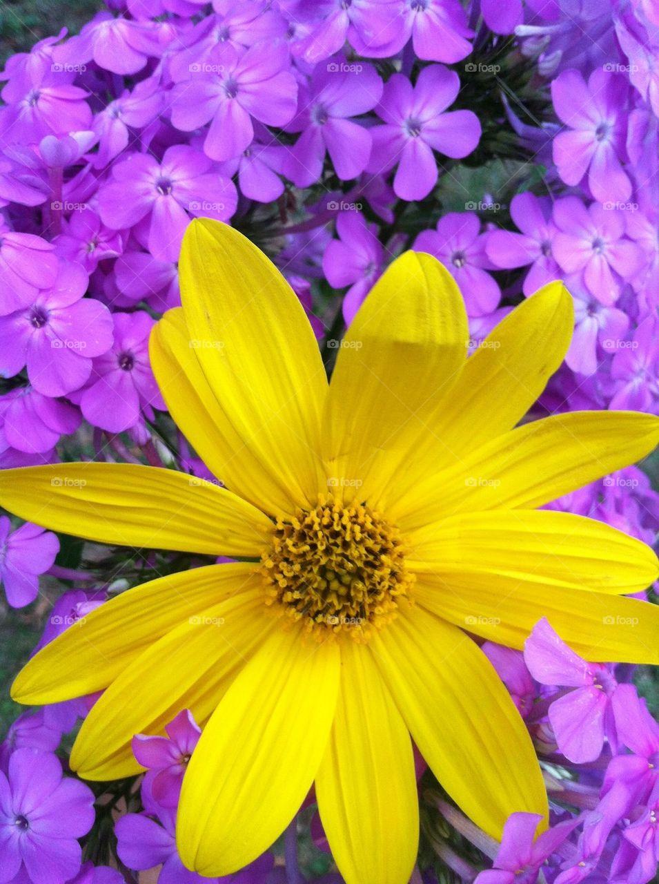 Purple flocks and yellow flower