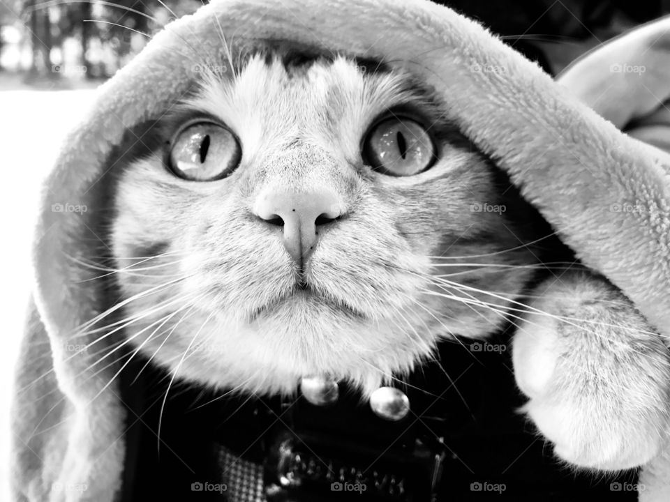 Darling black and white photo of tabby cat looking out from underneath a blanket!!