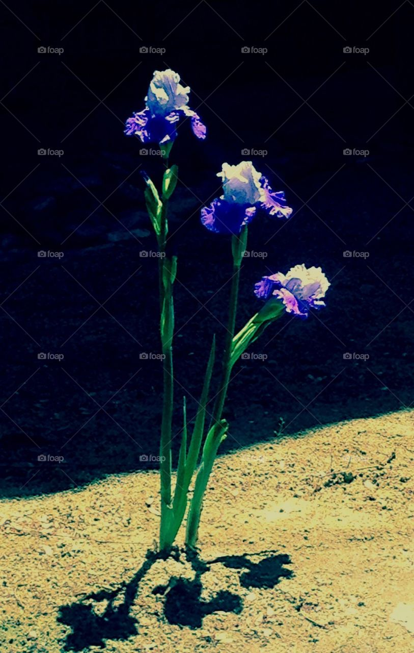 Iris alone but strong
