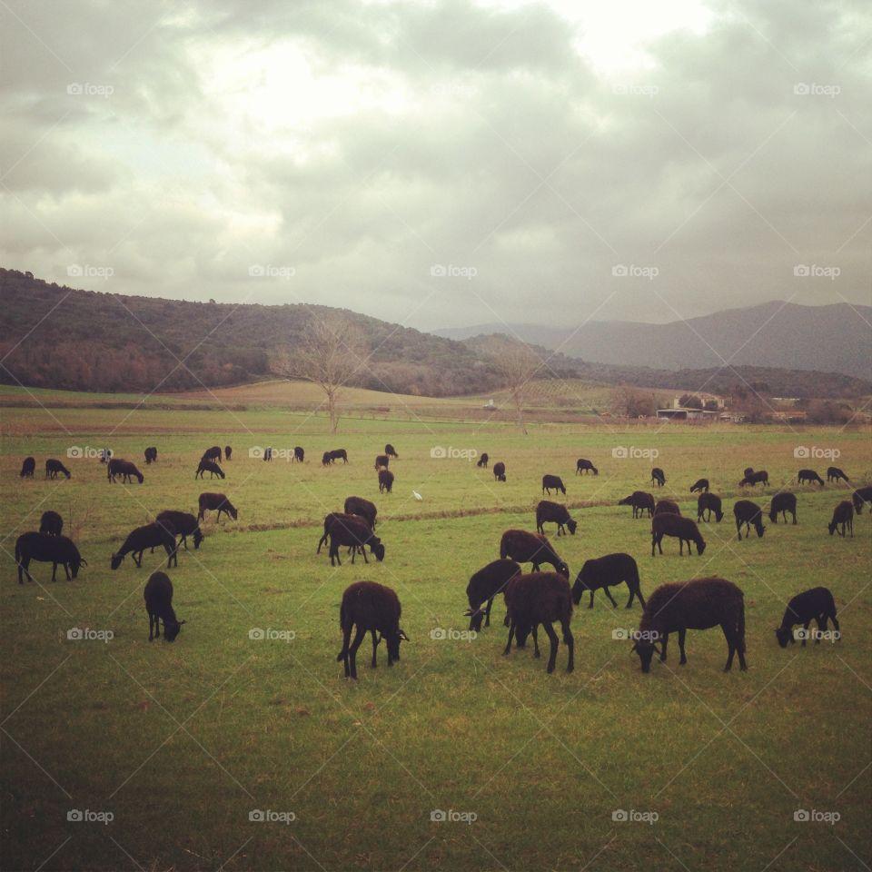 Landscape with black sheeps