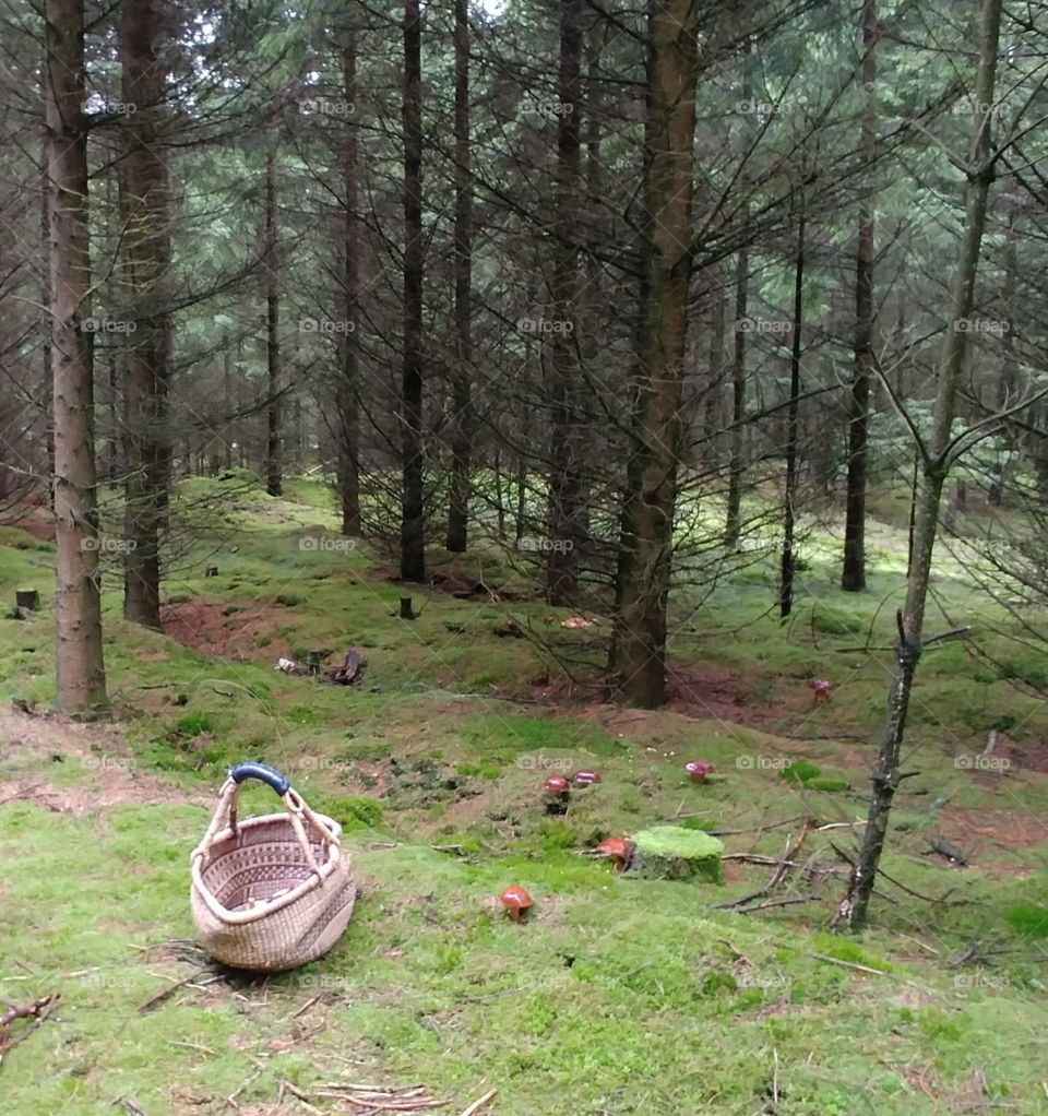 sammeln Pilze wald tree bäume mushroom Korb forest collect search walk suchen spaieren grün green herbst. autumn quiet ruhe allein natur
