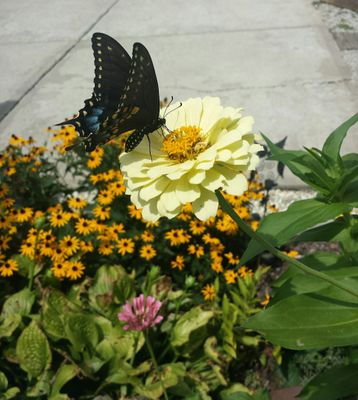 hungry swallowtail