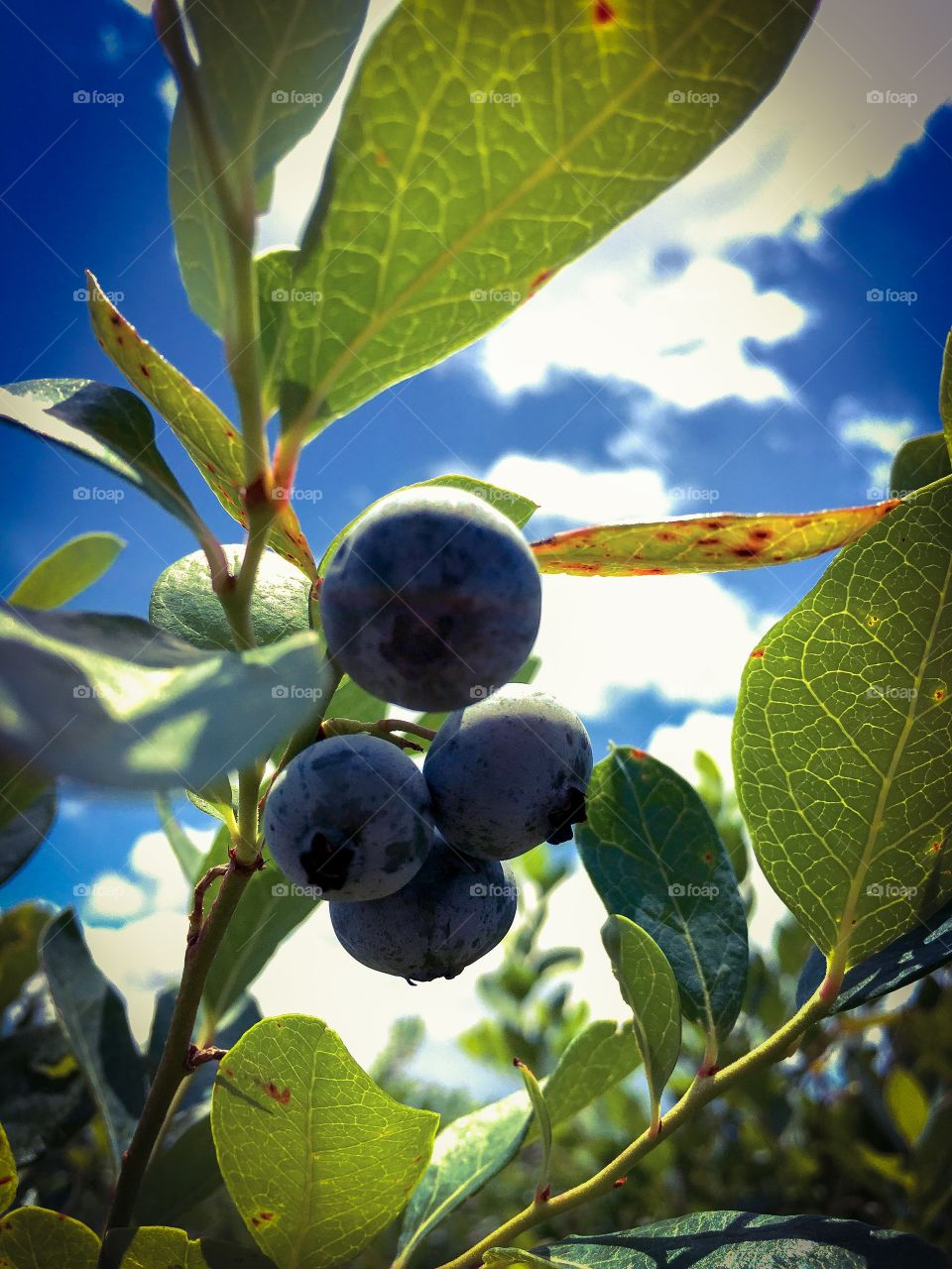 Beautiful Blueberries, ripe for the pickin'