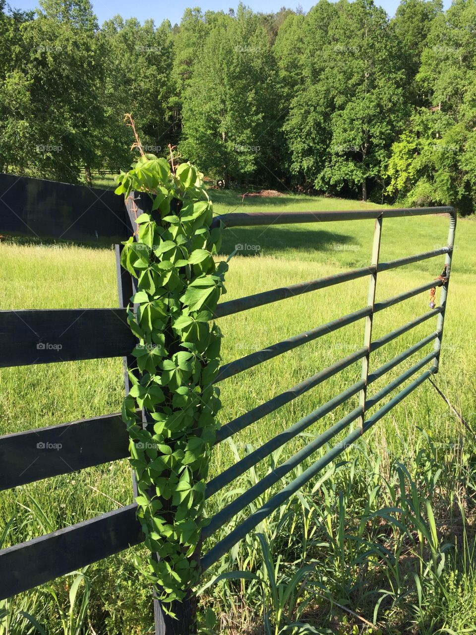 Vine growing on a Gate