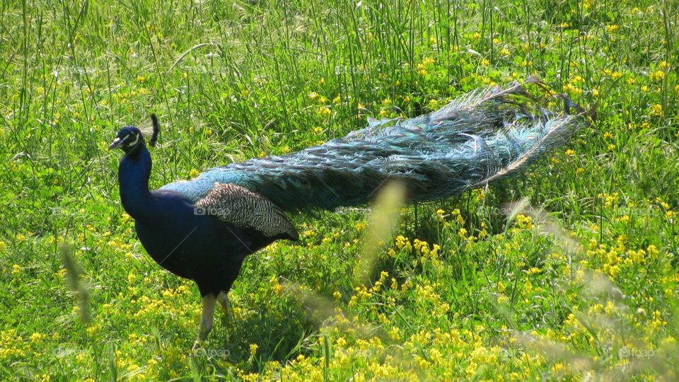 A Beautiful Peacock on the Spring Meadow