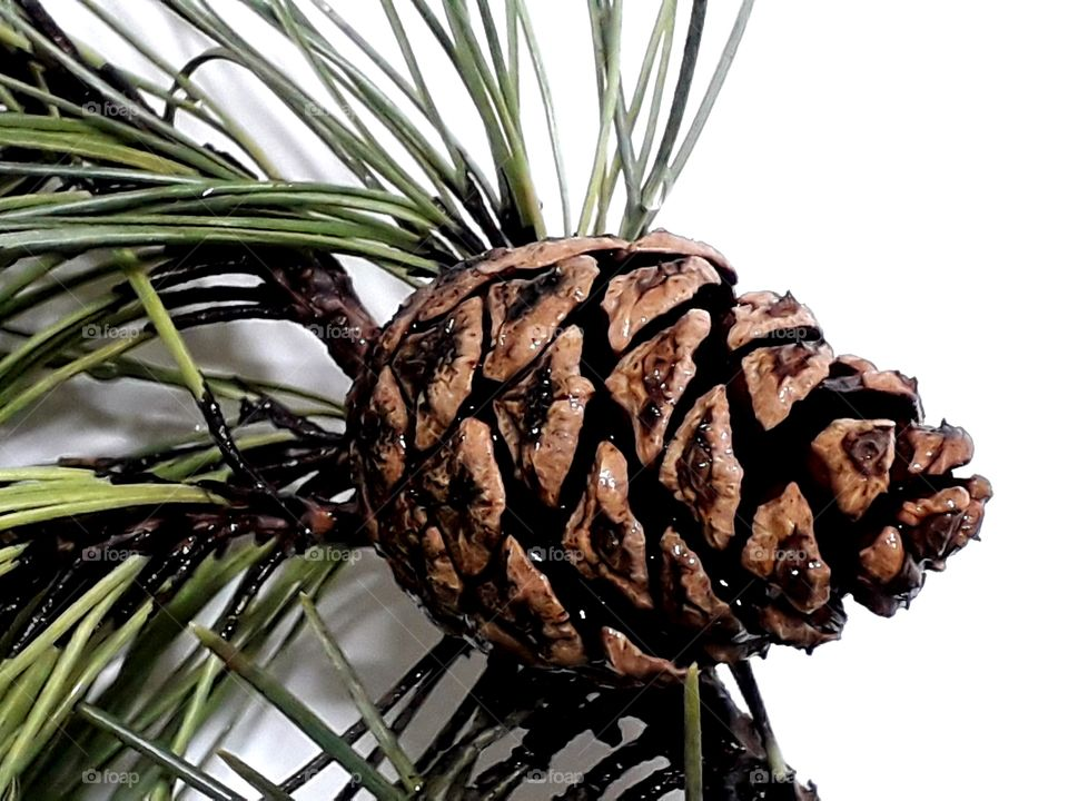 Pine tree cone on the white background close up