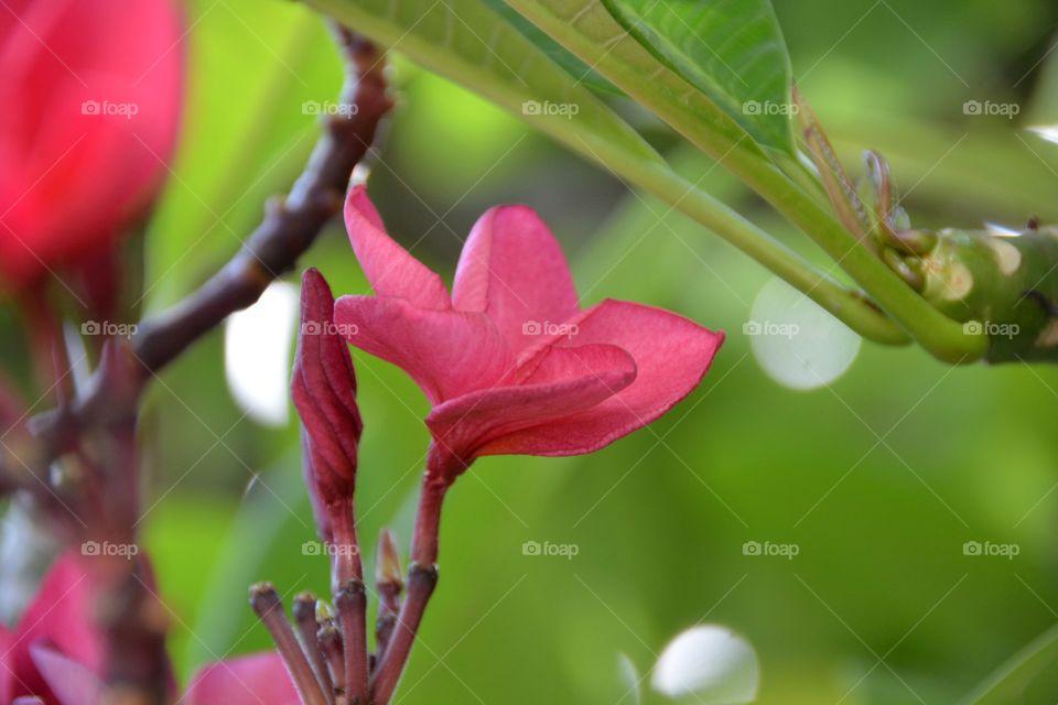 Frangipani in blur background