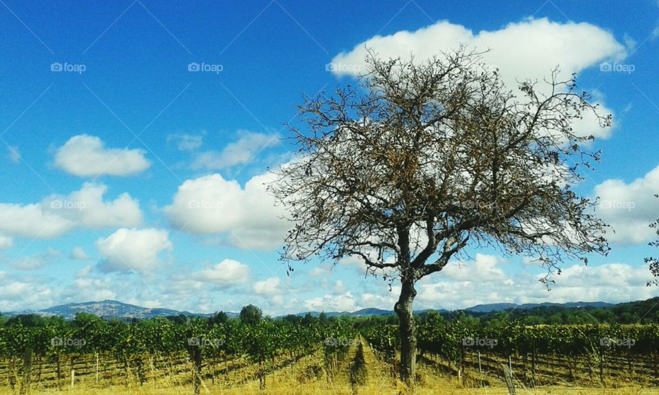 Tree and Vineyard