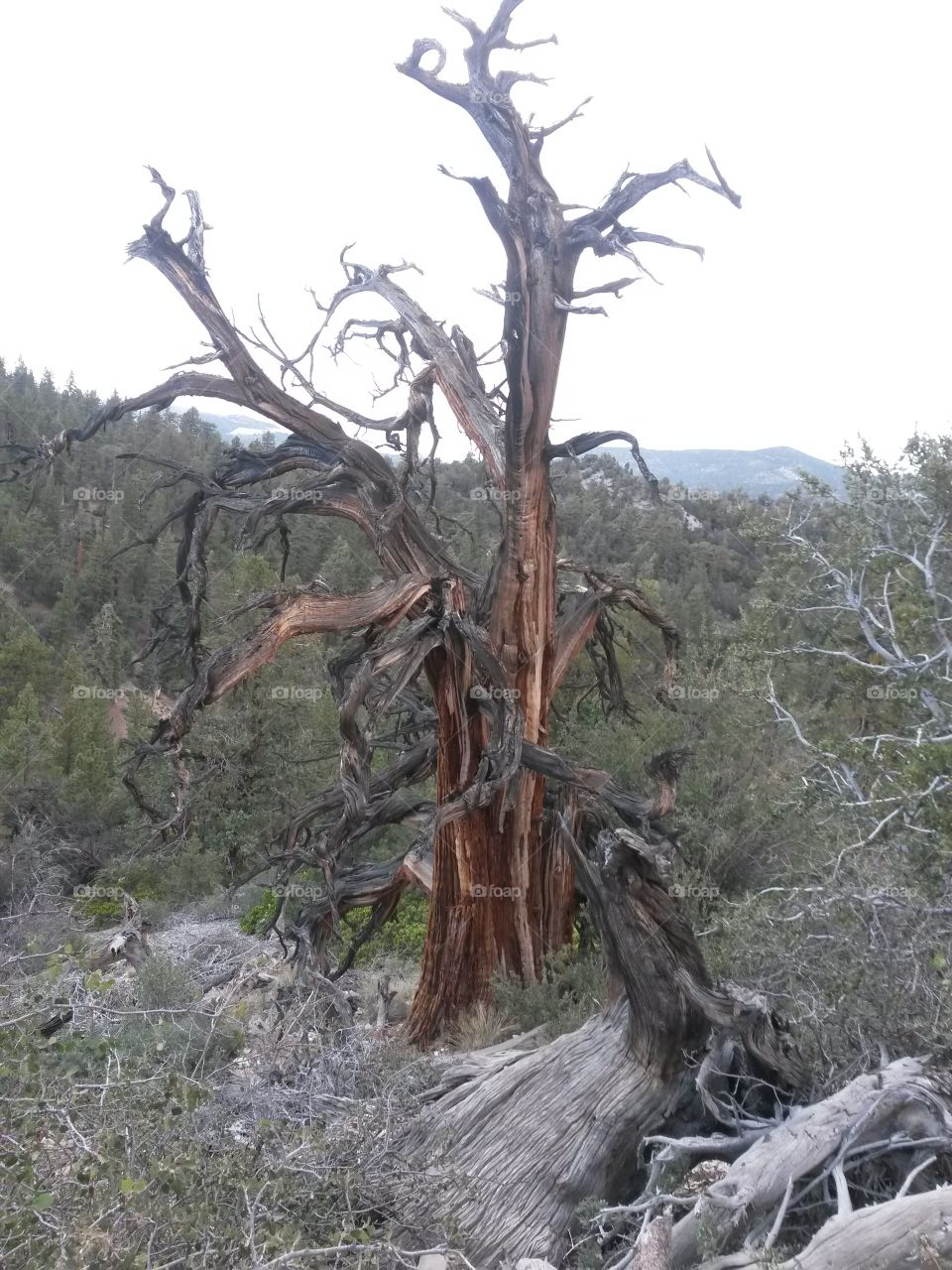 tree in big bear. cool looking tree on Cougar Trail