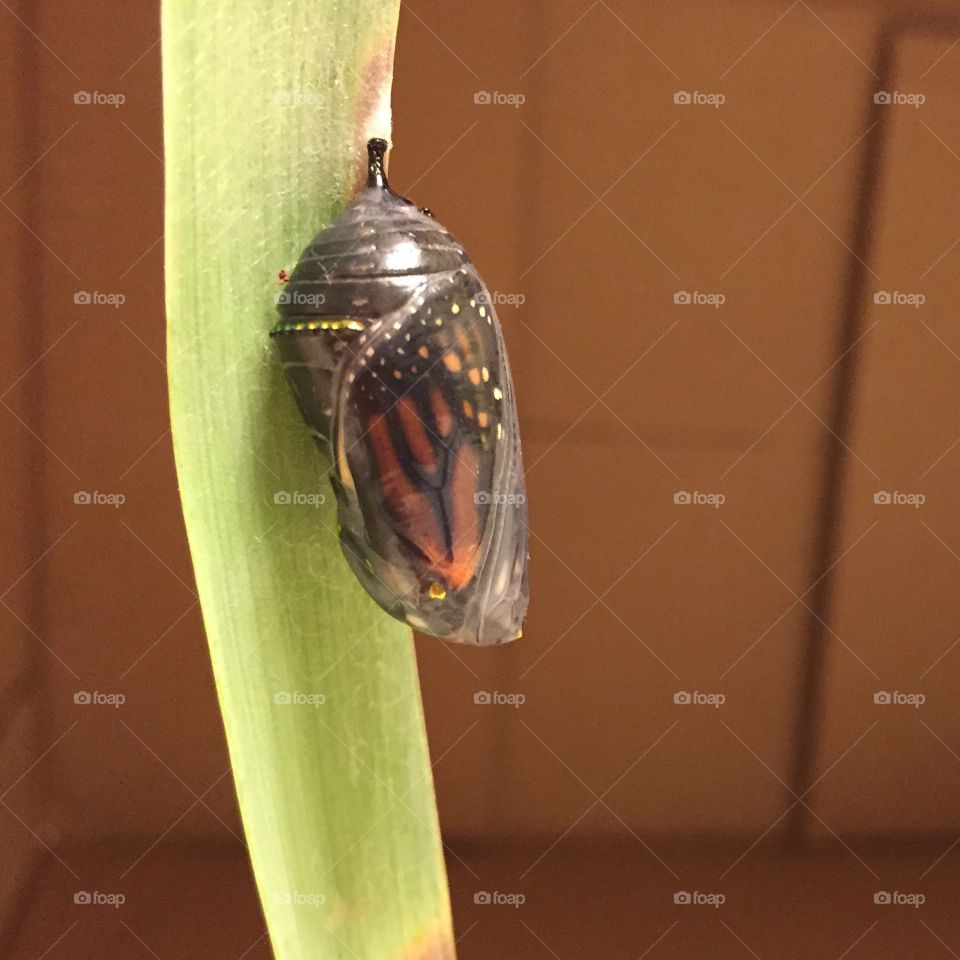 Monarch butterfly chrysalis just before emergence.