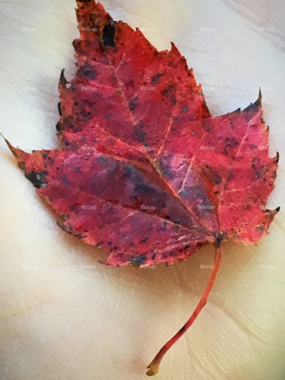 Red Maple leaf in palm of hand