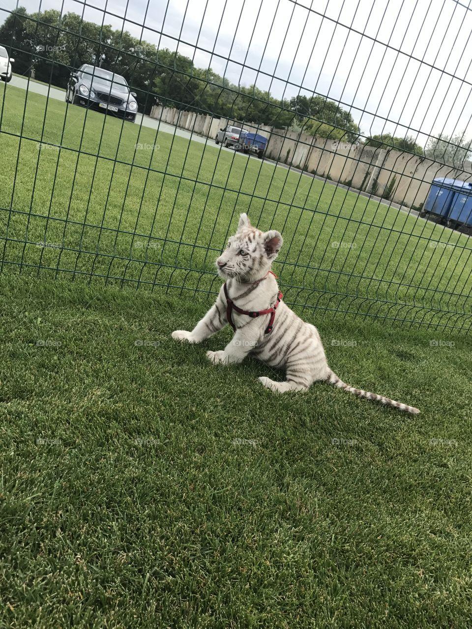 Tiger wait
