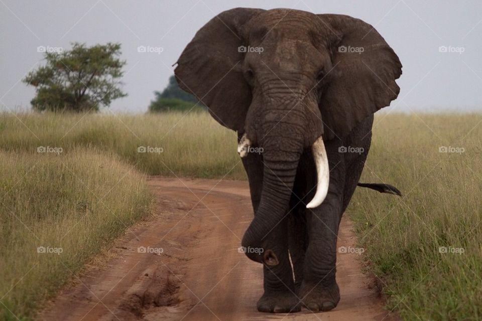 Elephant | bull elephant, alonbj, tusks, tanzania