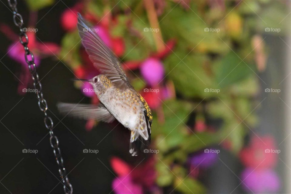 hummingbird  in Flight with fuschia Tail fan  out and Wings up September 2018