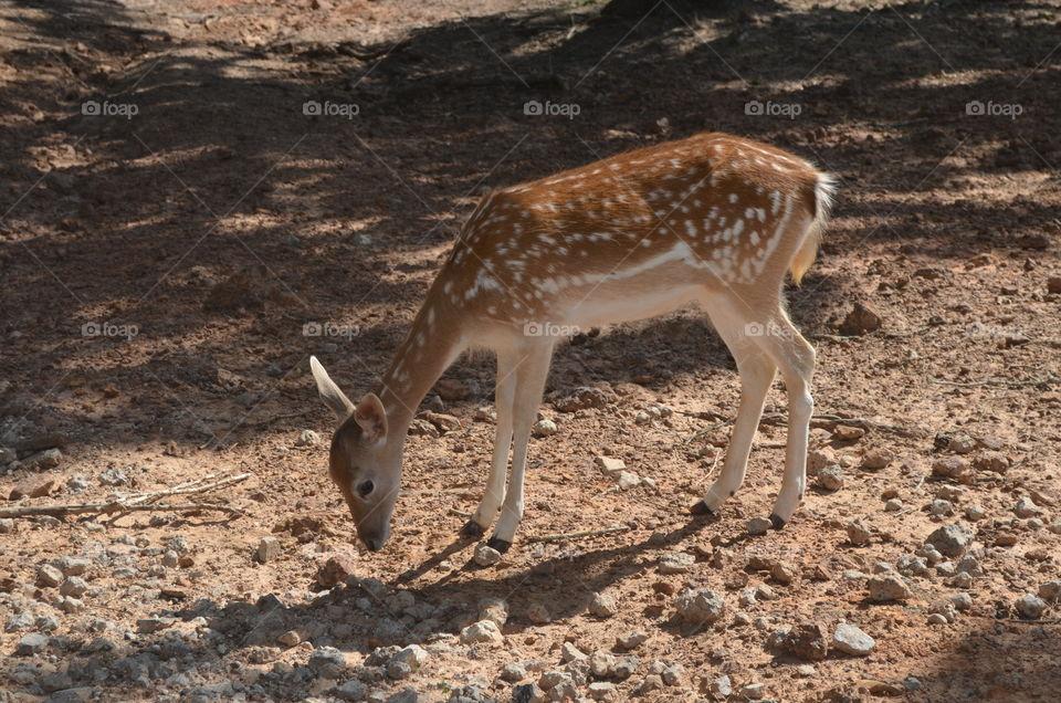 Deer in the woods eating
