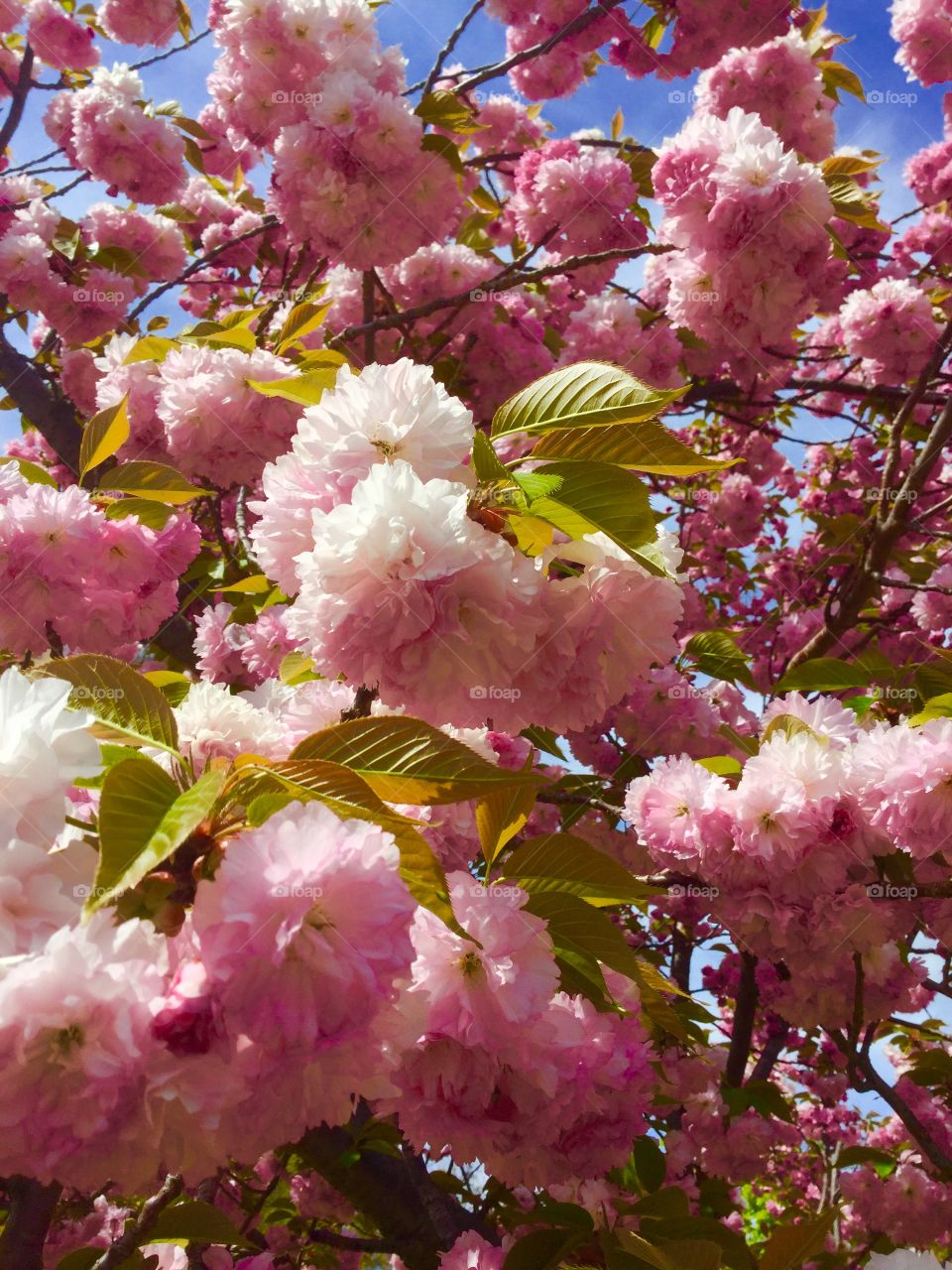 The beauty of the cherry trees