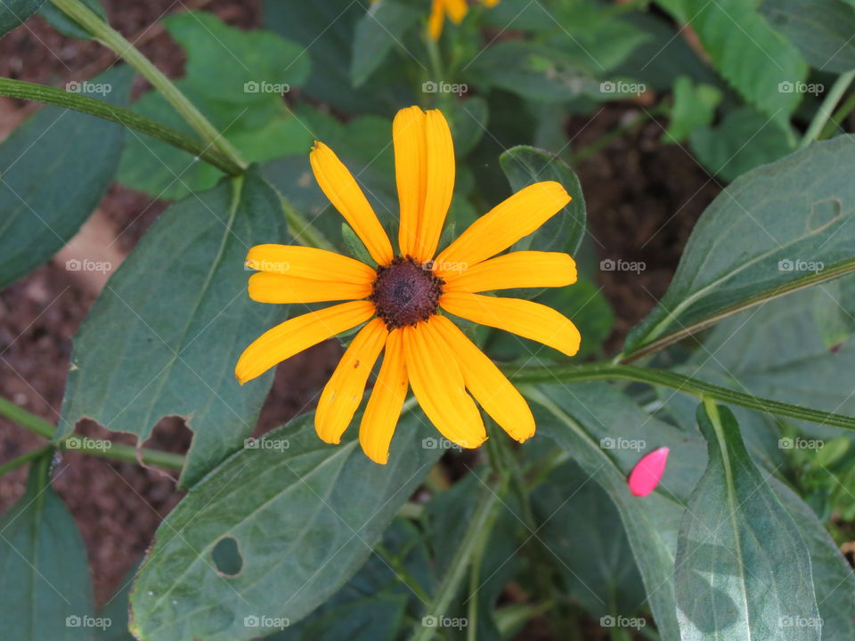 Mellow Yellow Daisy.