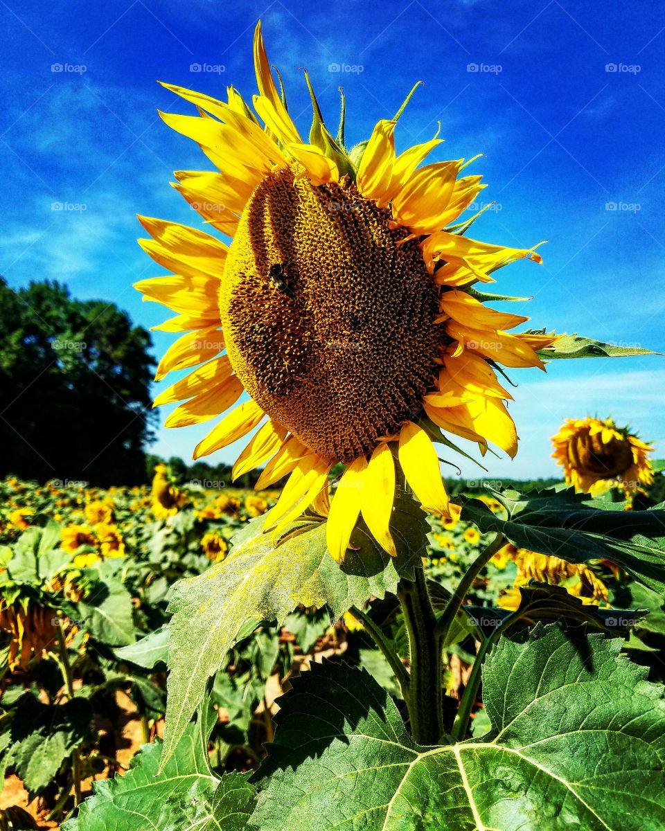 A bee investigates a pollen-covered sunflower as it soaks up the sun in a South Carolina field.