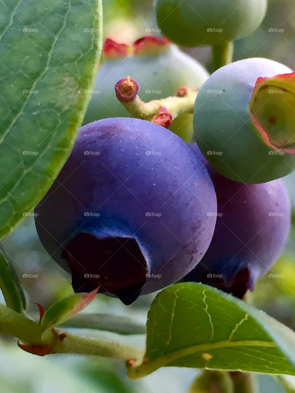 Plumping blueberries