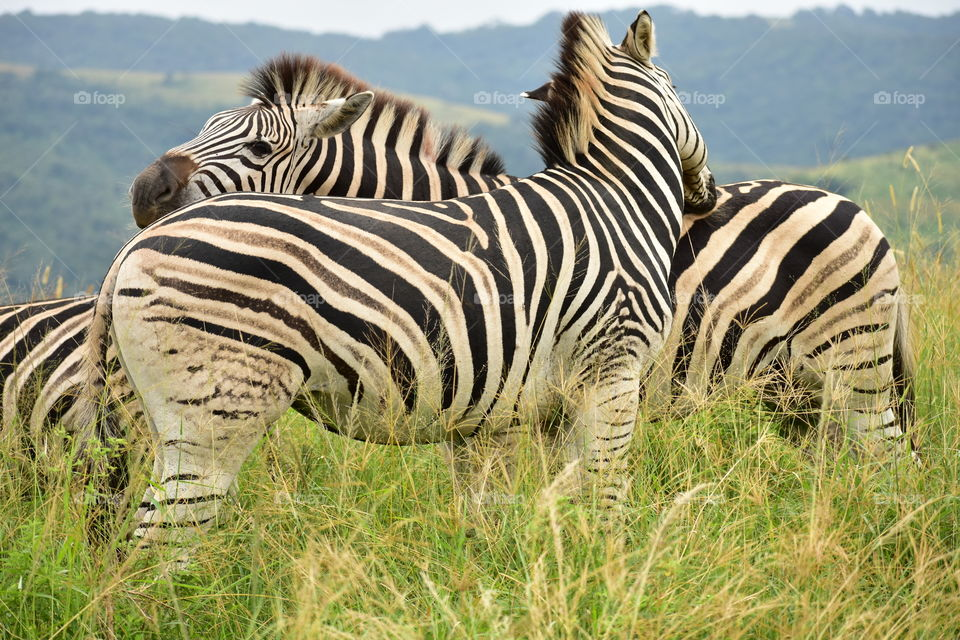 Neither The Snout Kicking Nor Back-Biting Will Stand In The Way Of Zebra Family Expansion