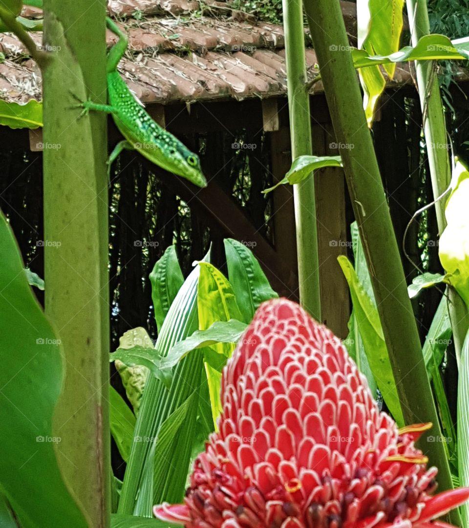 Green lezard Anolis in Balata tropical garden
