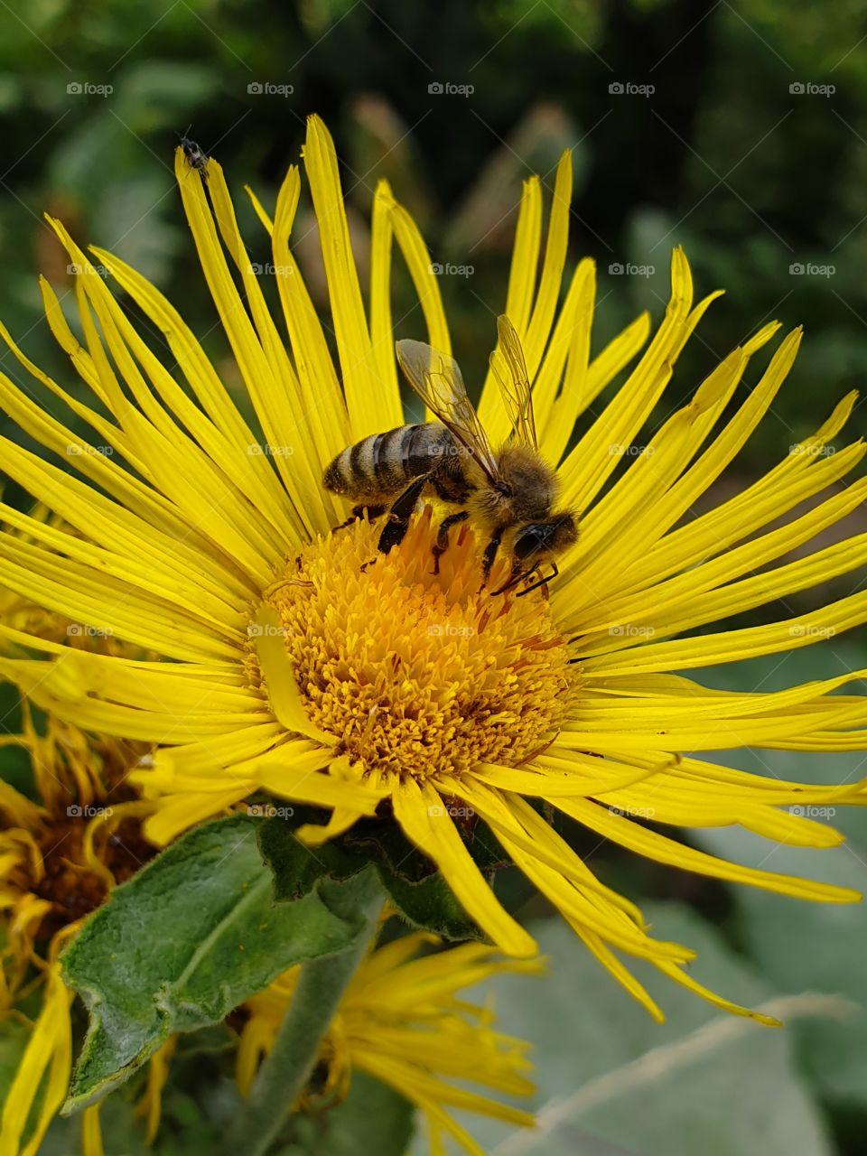 bee feeding on a bright yellow flower