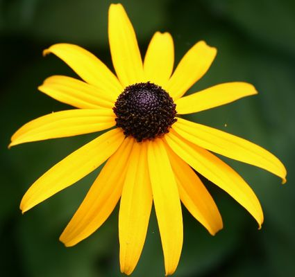 Black eyed Susan . The time to smell, and photograph, the flowers...😃