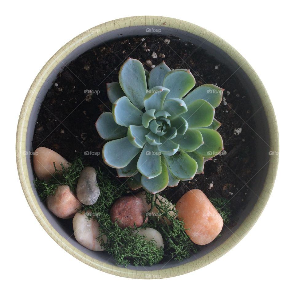 Succulent. Potted succulent
