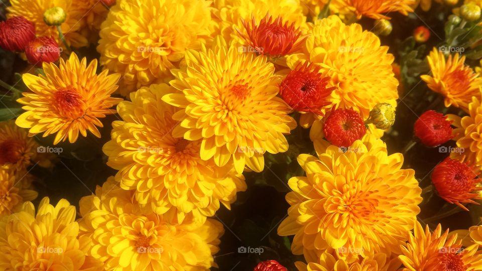 Close-up of a chrysanthemum flowers