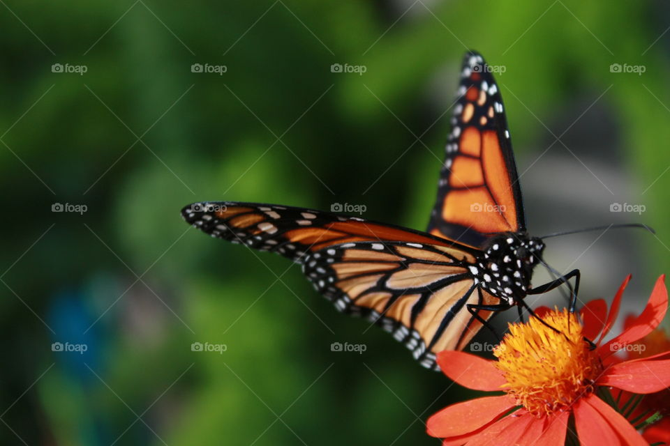 Orange and black Monarch butterfly on orange flower close-up macro