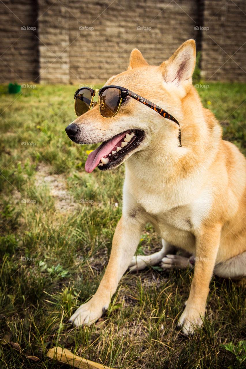 Dog wearing sunglasses sitting on grass