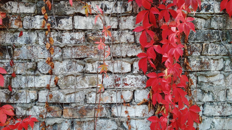 Red wild grape leaves against an old brick wall, autumn 2016