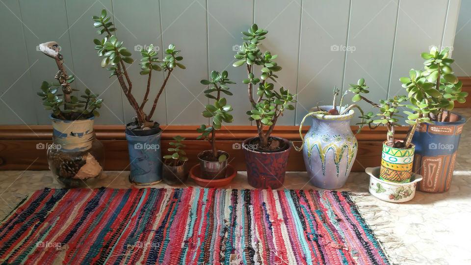 Close-up of crassula potted plant