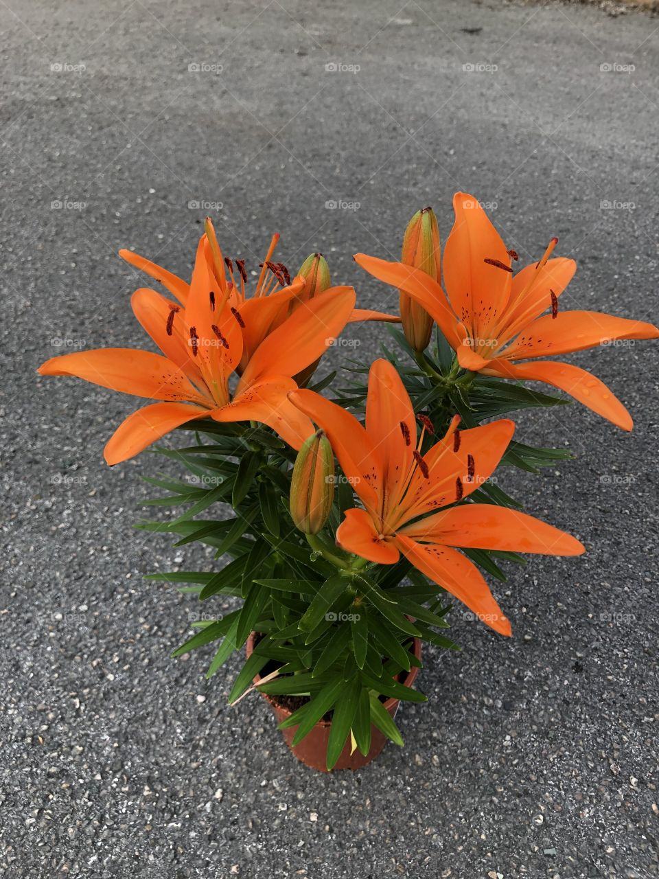 Orange colored Lillie's in impeccable health. Photo taken from directly above the Lillie's.