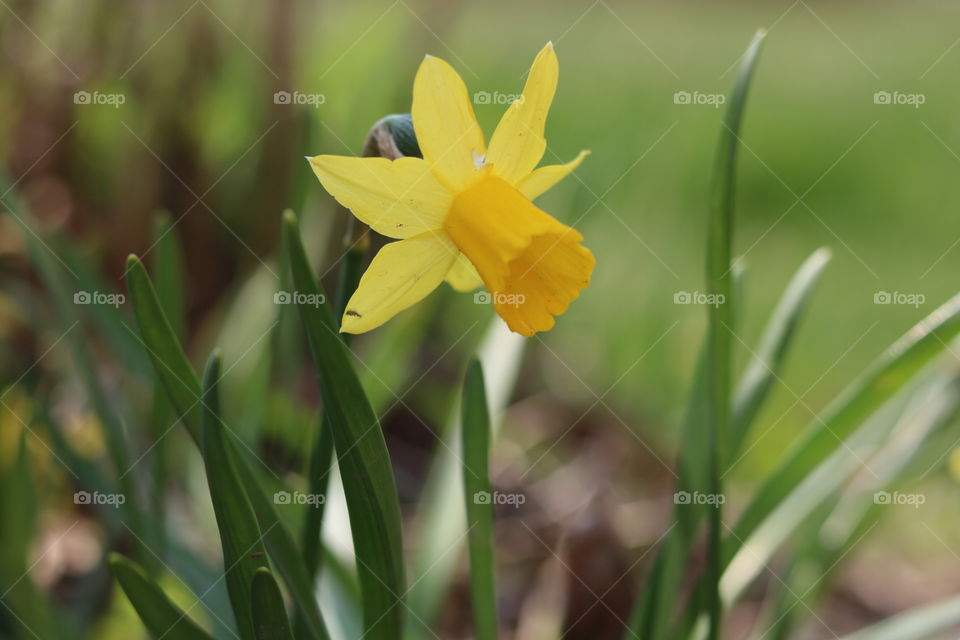Cute little Daffodil.