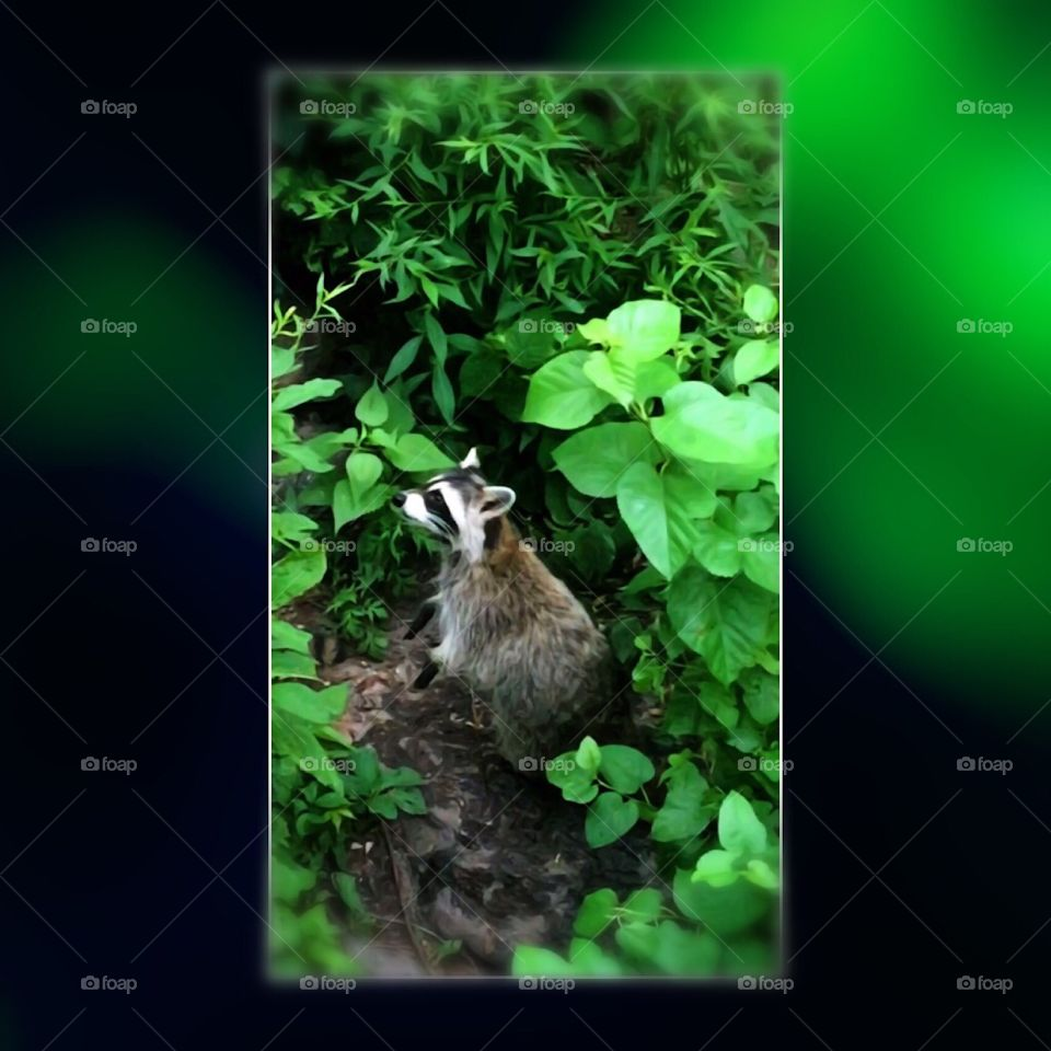 Raccoon in Central Park, New York City. Instagram,@PennyPeronto