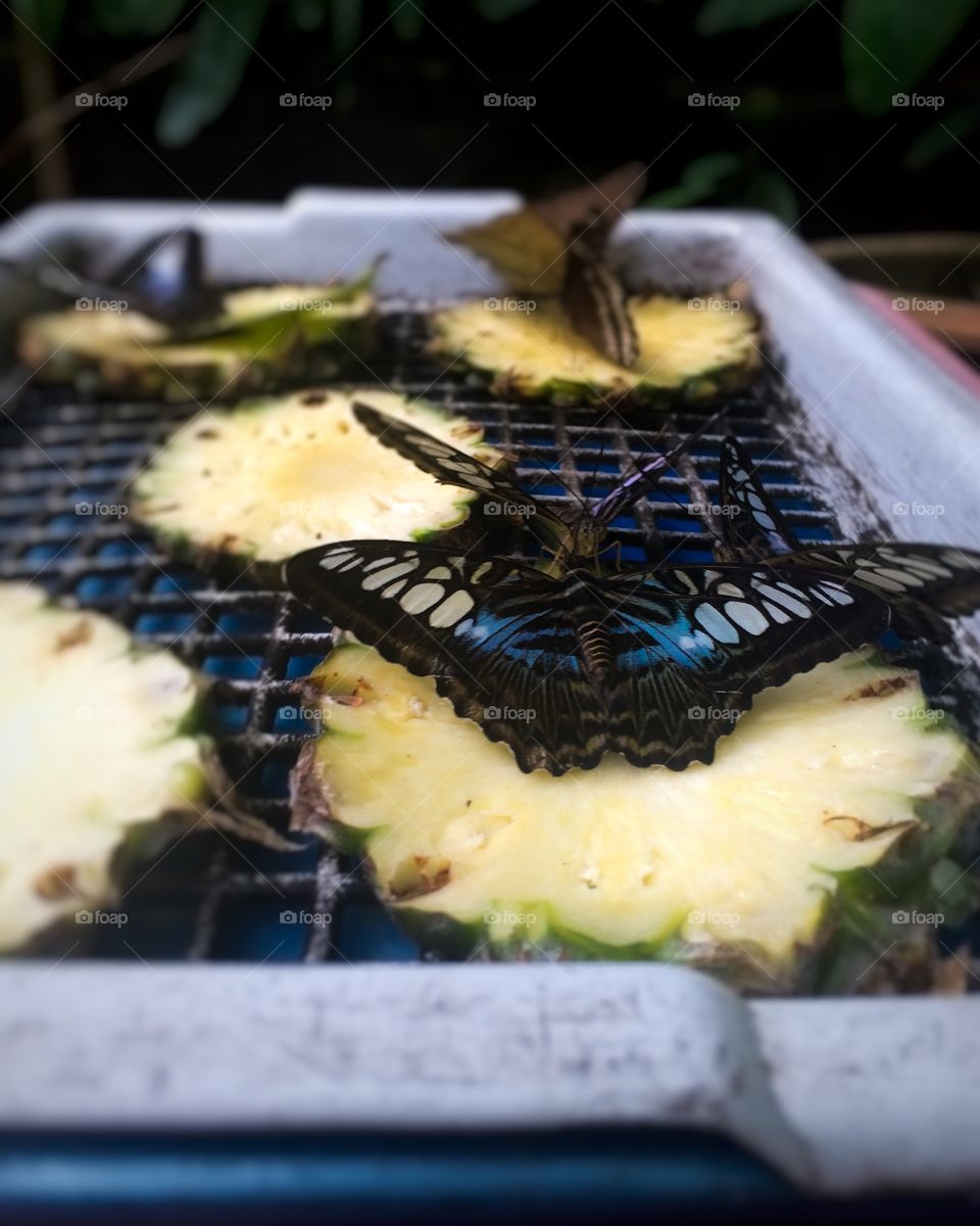 Group of beautiful butterflies sucking food from pineapple by necromacy
